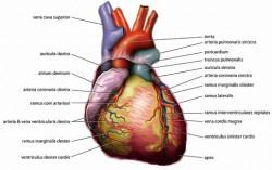 Herzklappe-3D-Drucker