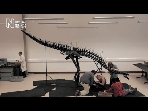 Assembling the most complete Stegosaurus in the world   Natural History Museum