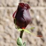 objet_rose-lackiert