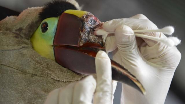 tukan-schnabelprothese-costa-rica