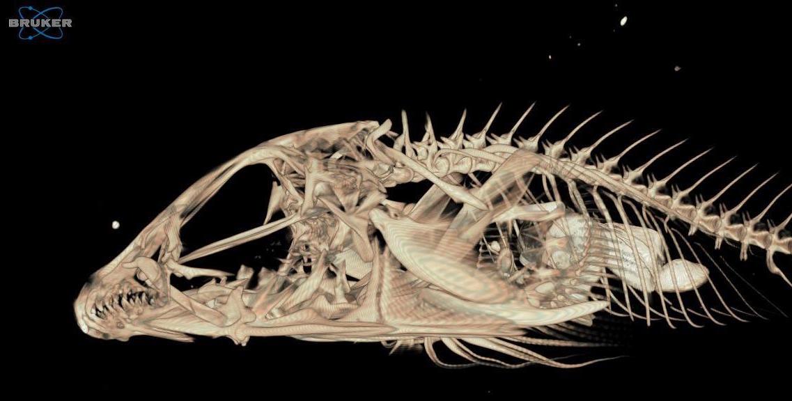 Wissenschaftler erstellt datenbank f r fischskelette for Big fish printing