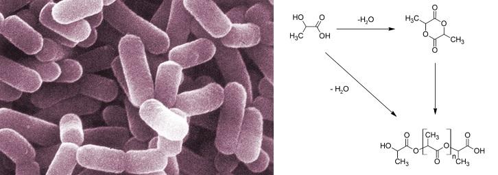 Lactobacillus casei Kultur erstellt PLA (Polylactic Acid)