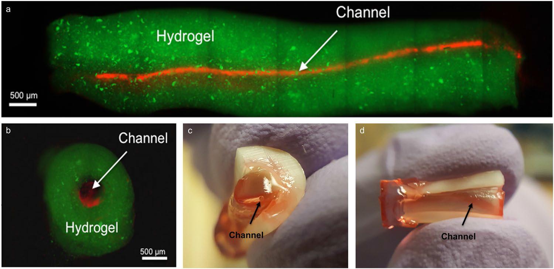 3d gedruckte blutgef%C3%A4%C3%9Fe2 - 3D-gedruckte Blutgefäße als neue Methode für Wurzelkanal-Chirurgie