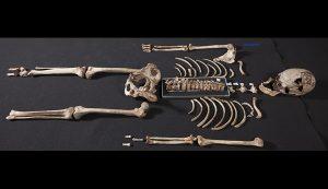 """cheddar man reassembled skeleton two column 300x173 - Dunkle Haut und helle Augen: 3D Druck Rekonstruktion des """"ersten Briten"""""""