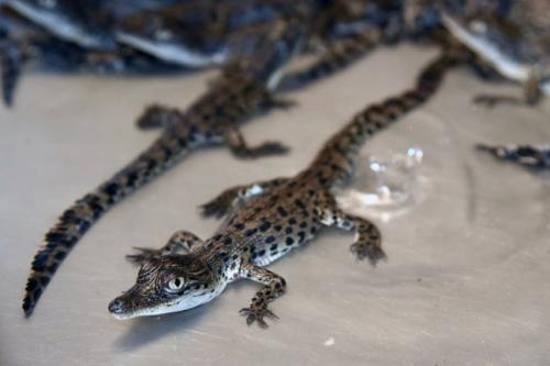 Krokodil 1 e1533674905761 - Krokodilknorpel und menschliche Stammzellen zum 3D-Drucken von Gelenkknorpel