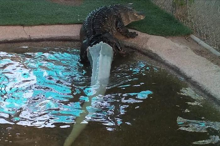 Mr. Stubbs the Alligator bekommt neues Hinterteil dank 3D Technologien1 - Mr. Stubbs the Alligator bekommt neues Hinterteil dank 3D-Technologien