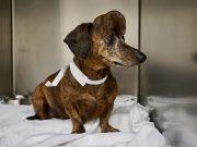 Der großteil des Schädel eines Hundes wurde durch 3D-Druck Titanschädelkappe ersetzt