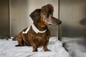 Dackel Patches mit Hirntumor 300x200 - Der großteil des Schädel eines Hundes wurde durch 3D-Druck Titanschädelkappe ersetzt