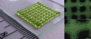biogedruckte Struktur mit Grünalgen 300x131 - 3D-Bioprinting von lebenden Strukturen mit eingebauten chemischen Sensoren